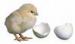 Mesin Penetas Telur Manual 75 Butir (EM-75)