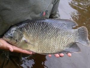 Peluang Bisnis Budidaya Ikan Gurami dan Analisa Usahanya