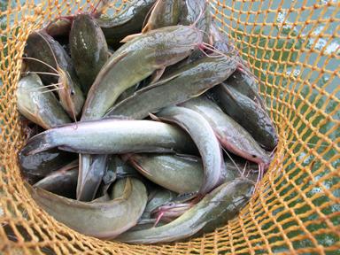 Peluang Usaha Dan Analisa Usaha Ternak Ikan Lele Toko Mesin Maksindo
