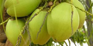 kelapa muda tokomesin