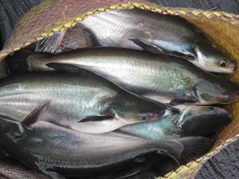 Peluang Usaha Budidaya Ikan Patin Dan Analisa Usahanya Toko Mesin Maksindo