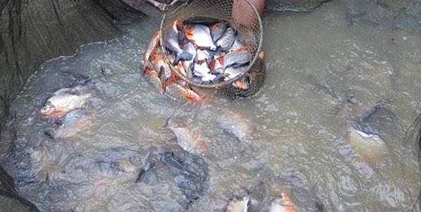 Peluang Usaha Budidaya Ikan Nila Dan Bawal Serta Analisa Usahanya Toko Mesin Maksindo
