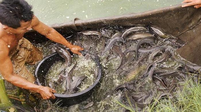 Peluang Bisnis Ikan Lele Dan Analisa Bisnisnya Toko Mesin Maksindo