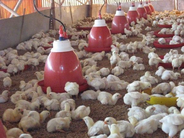 Peluang Bisnis Ternak Ayam dan Analisa Bisnisnya-tokomesin